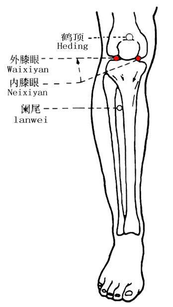 內膝眼穴位 | 內膝眼穴痛位置 - 穴道按摩經絡圖解 | Source:zhongyibaike.com