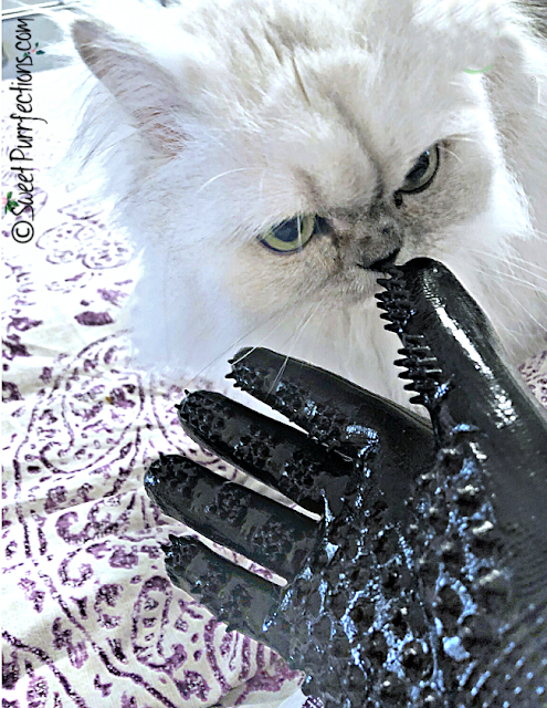 silver shaded Persian Cat with handson glove