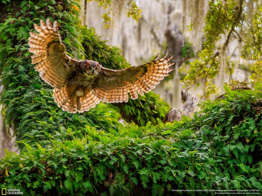 20+ Of The Best Entries From The 2016 National Geographic Nature Photographer Of The Year - Great Horned Owl Returning