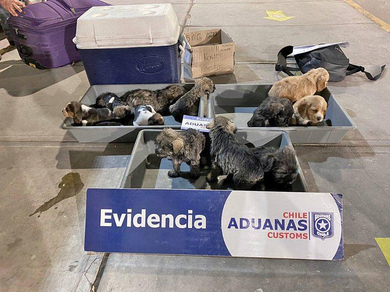 Deportan a 11 cachorros que entraron de contrabando al país
