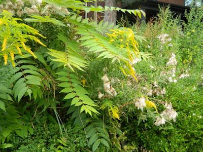 Toronto Summer Garden Cleanup in Koreatown Before by Paul Jung Gardening Services--a Toronto Organic Gardener
