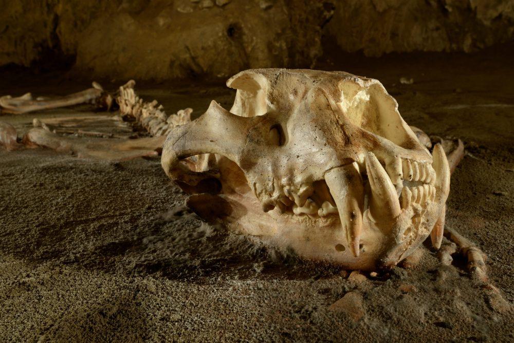 Cráneo de león cavernario europeo en las cuevas de Oñati - Arrikrutz
