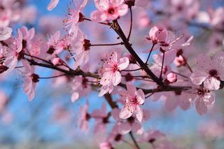 pink cherry_blossom twig flower spring