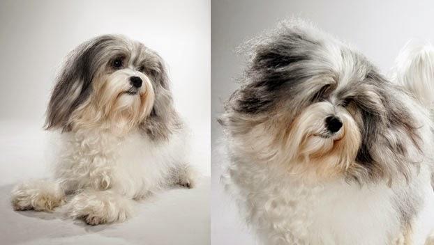 Cute Lowchen Guide Puppies