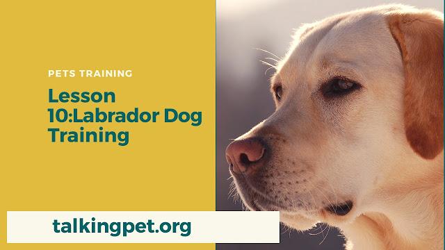 Labrador Dog Training
