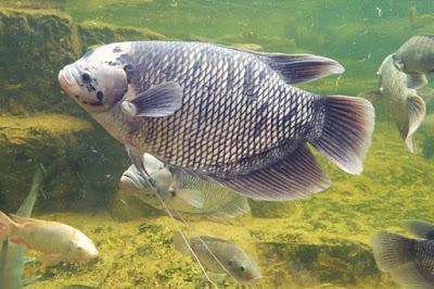 Pengertian, Manfaat, Jenis, dan Penentu Komoditas Ikan Konsumsi