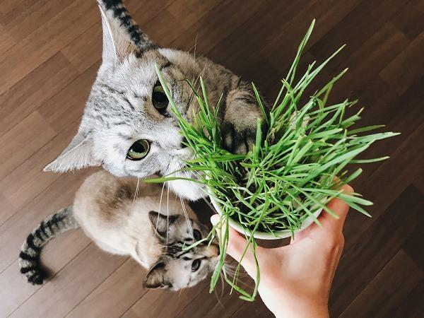 猫草の入ったカップを掴んで立ったまま食べてる
