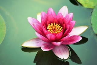 Foto Bunga Teratai Putih Yang Indah_Lotus Flower Picture