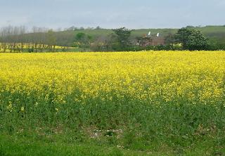 plantaçao de colza