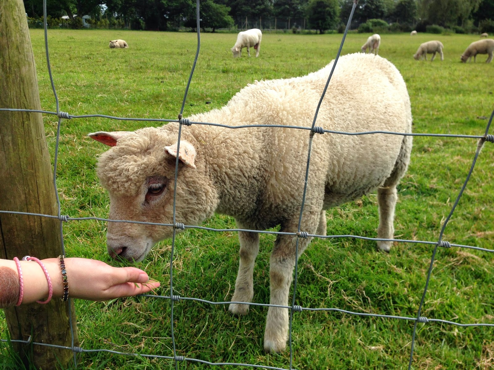 A sheep at Grundy's Farm