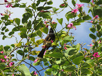 Red-vented Bulbul in Hawaiian Orchid Tree - Fort DeRussy, Waikiki, HI