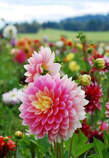 dalia różowa ogród