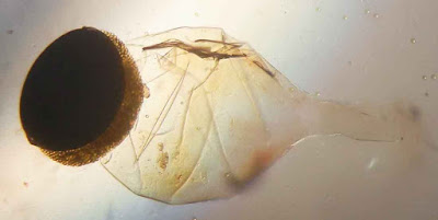 Pilobolus spore capsule