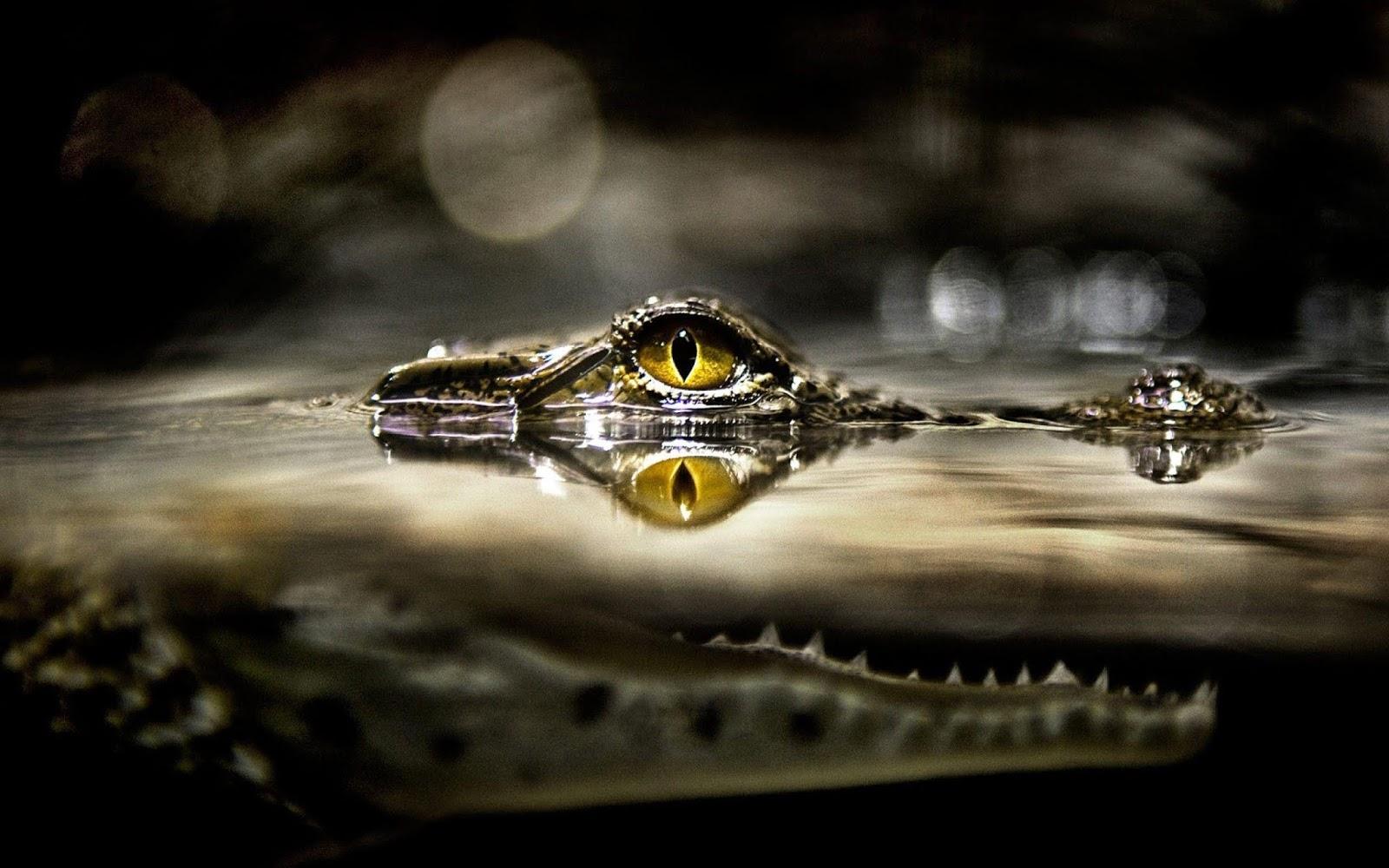 Alligator HD wallpapers eye