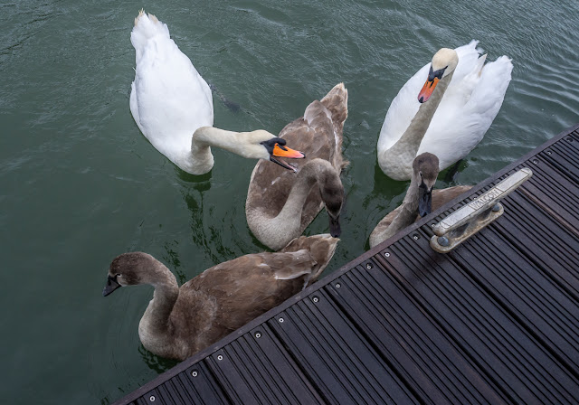 Photo of one of the cygnets trying to avoid getting pecked