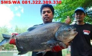 Essen Oplosan Untuk Ikan Bawal