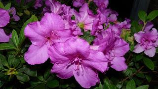 bunga azalea ungu
