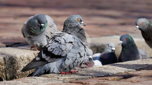 In Paris, pigeons are victims of... hairdressers