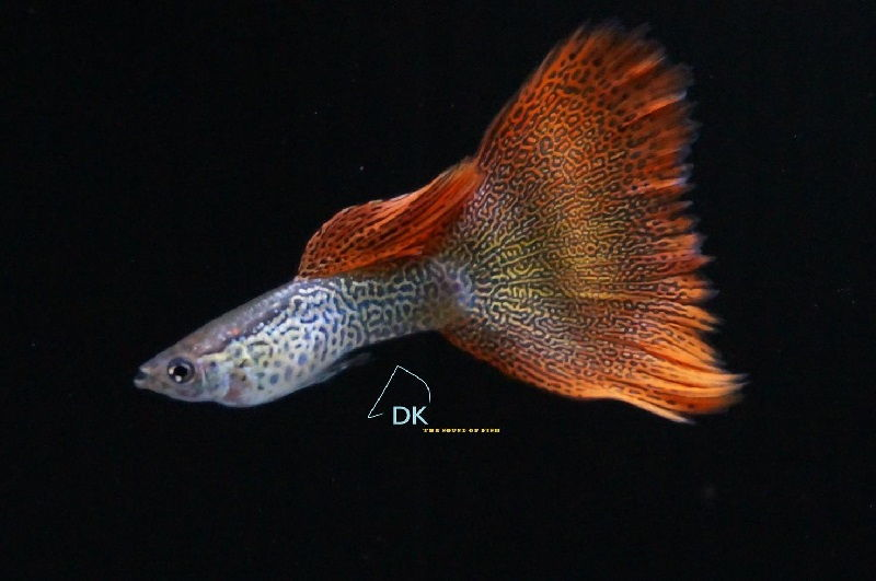 Gambar Jenis Ikan Guppy Import - Ikan Guppy Import Red Lace / RL