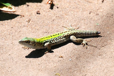 Italian Wall Lizards