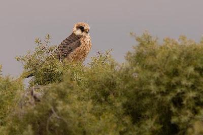 Falco vespertinus hembra