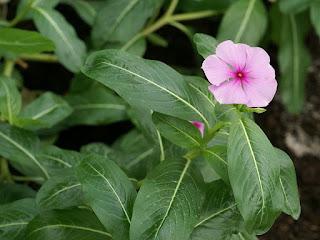 Pervenche de Madagascar - Catharanthus roseus - Vinca rosea