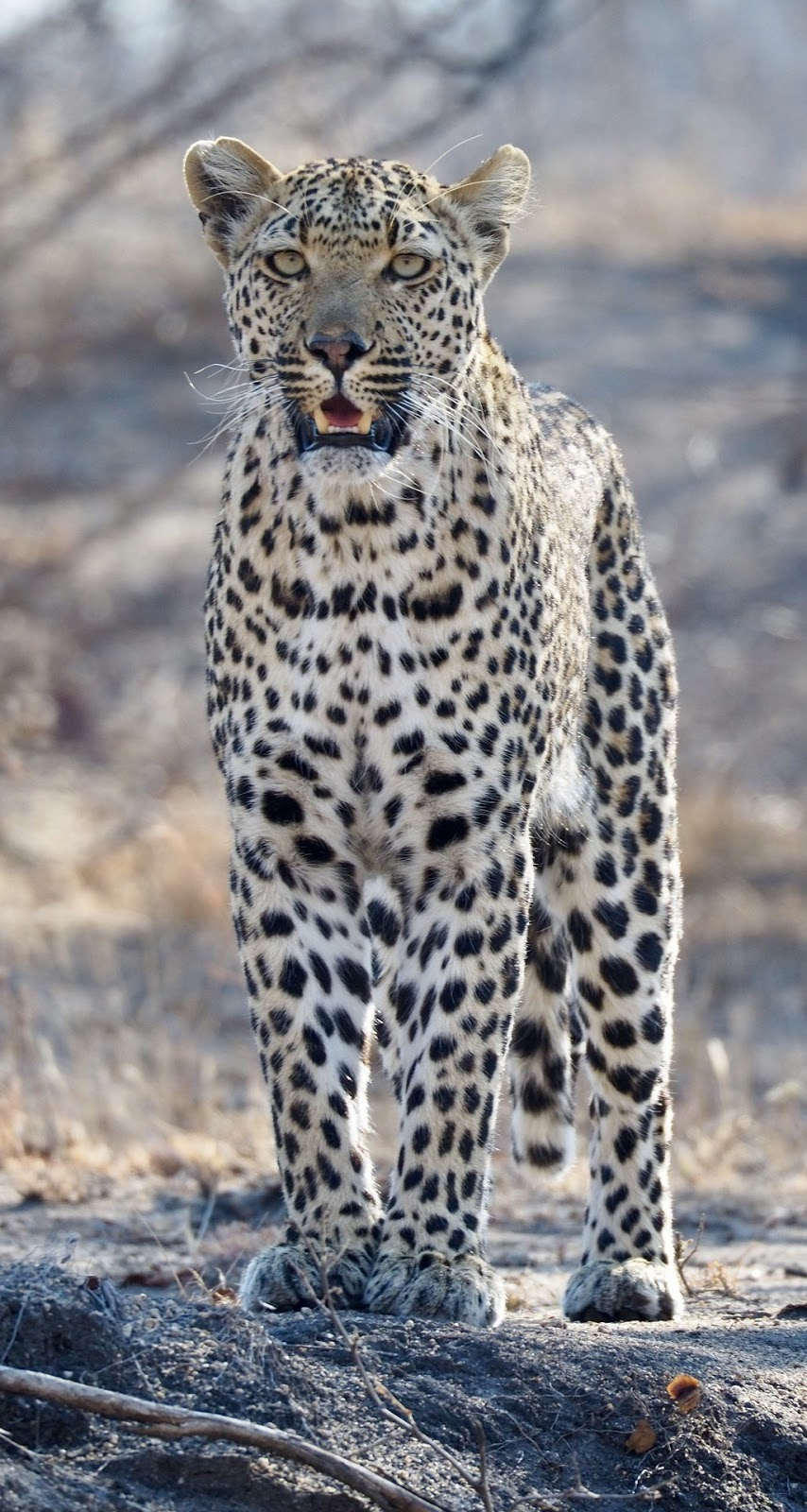 Leopard on the look out.