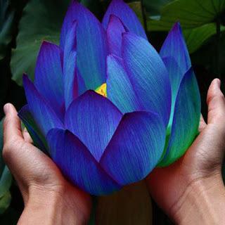 Ancient Egyptian Blue Lotus