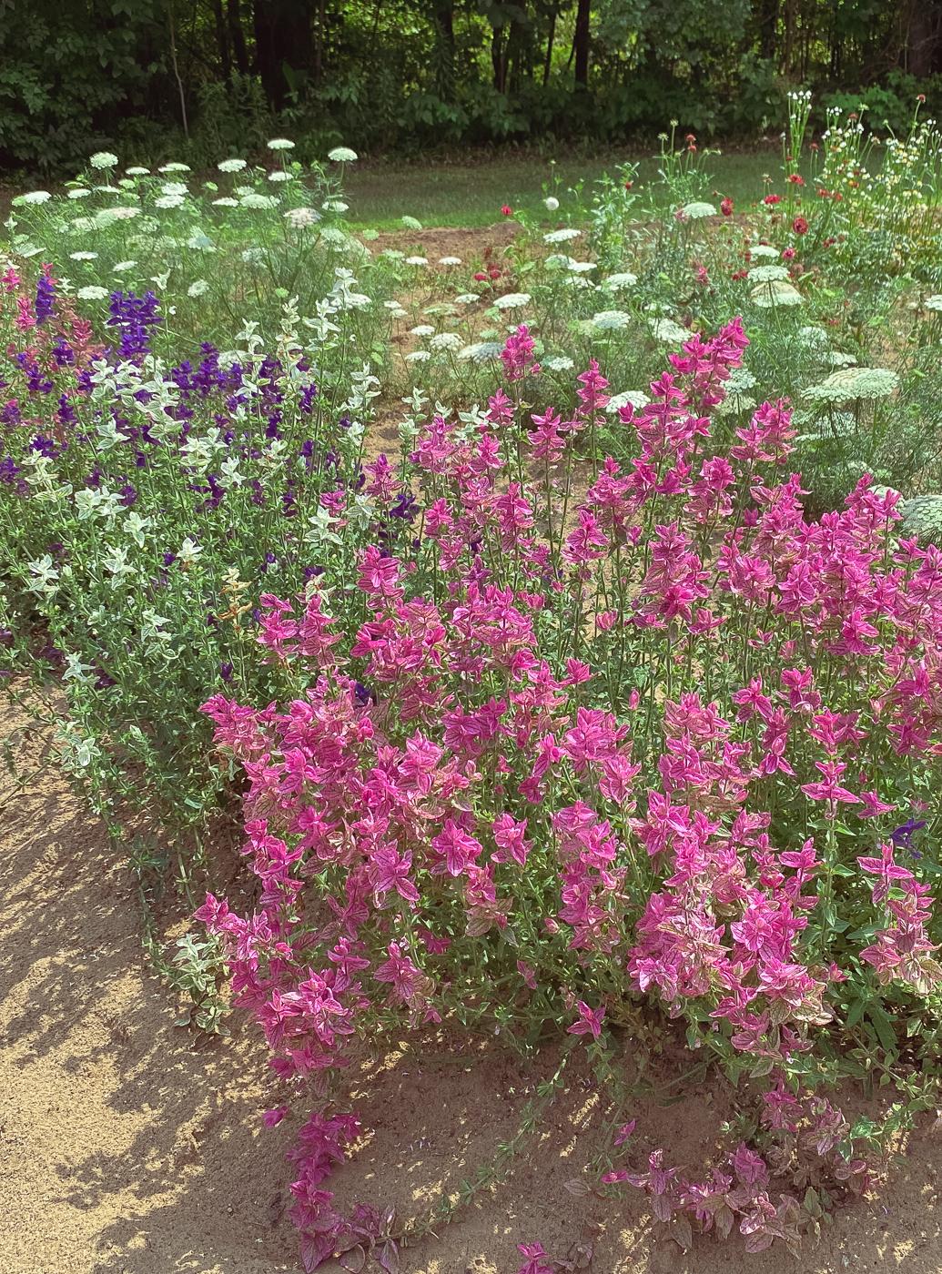Salvia greggii, summer garden flowers, blooming flowers, summer flowers that bloom
