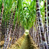 Ideal Conditions for Growing  Sugarcane