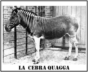La  cebra Quagga