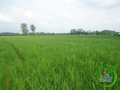 FOTO 2 : Padi TRISAKTI admin di sawah Tegalsungsang sudah bunting besar, keluar malai dan berbunga
