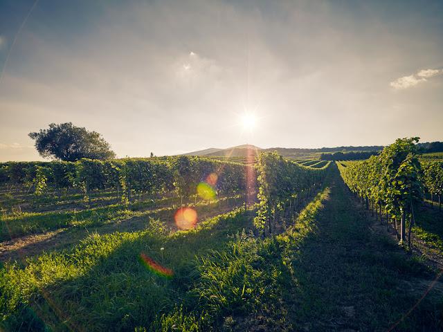 Weinberge in Niederösterreich