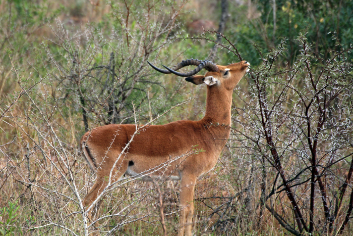 Impala in Phinda
