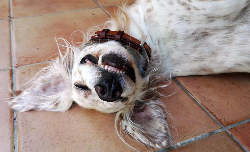 Elsa, English Setter dog, upside down smile