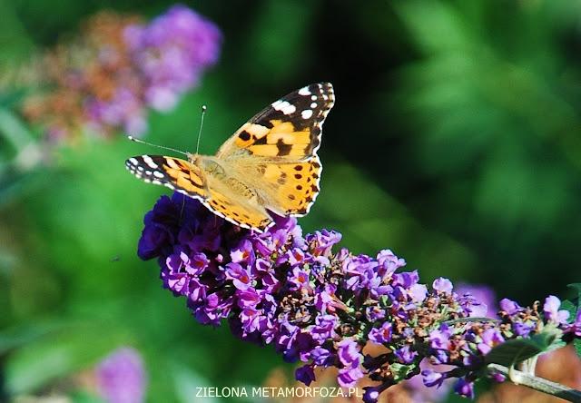 zielona metamorfoza.pl, ogród dla motyli