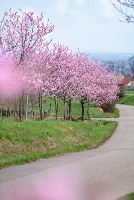 Pfälzer Mandelpfad | Etappe 05 Edenkoben – Birkweiler | Wandern Südliche Weinstraße | Mandelblüte Pfalz 07