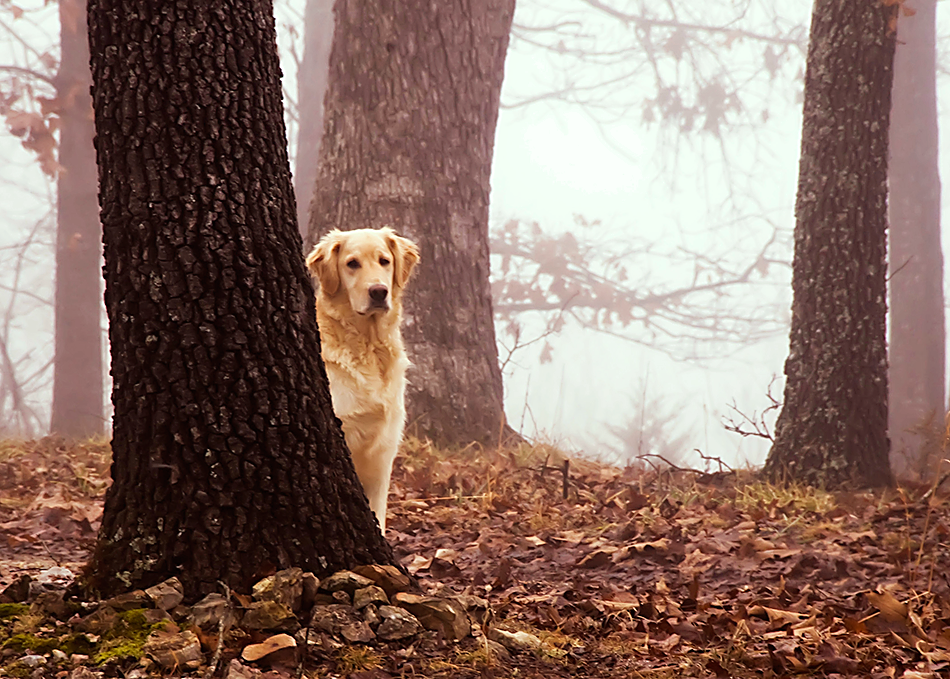 golden retriever behind tree