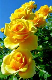 gambar bunga mawar indah 33