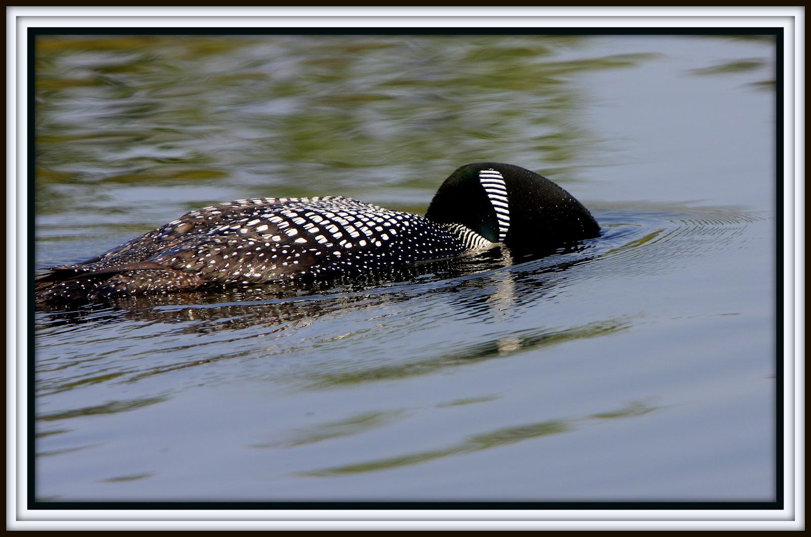 Nature Wings Swim Fins Used