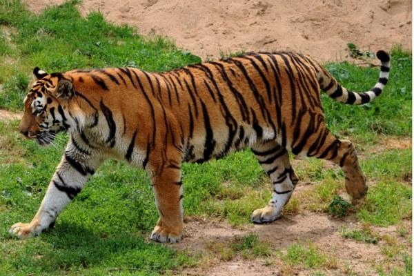 Lagi! Warga Lahat Sumsel Tewas Diterkam Harimau