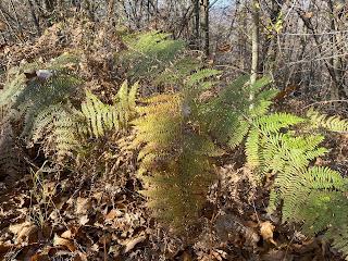 [Dennstaedtiaceae] Pteridium aquilinum - Common Bracken (Felce quilina).