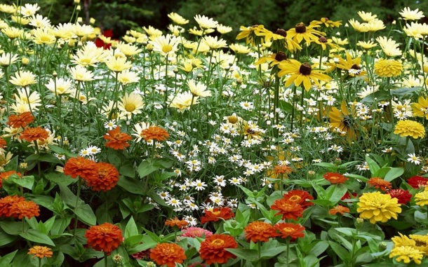 красные и желтые циннии, солнечная рудбеккия и белые хризантемы