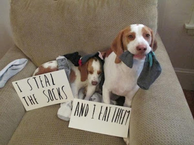Funny Dog Humor : I steal Socks