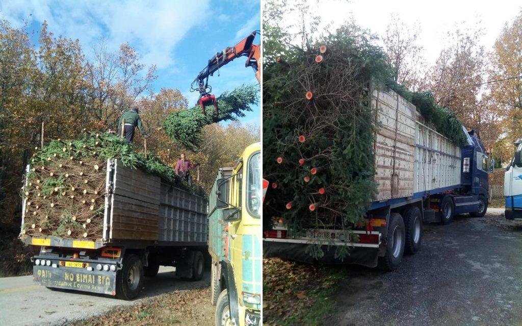 Περισσότερα από 25.000 χριστουγενιάτικα δέντρα πουλήθηκαν από τον Ταξιάρχη Χαλκιδικής