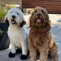 Red coat color in Goldendoodle