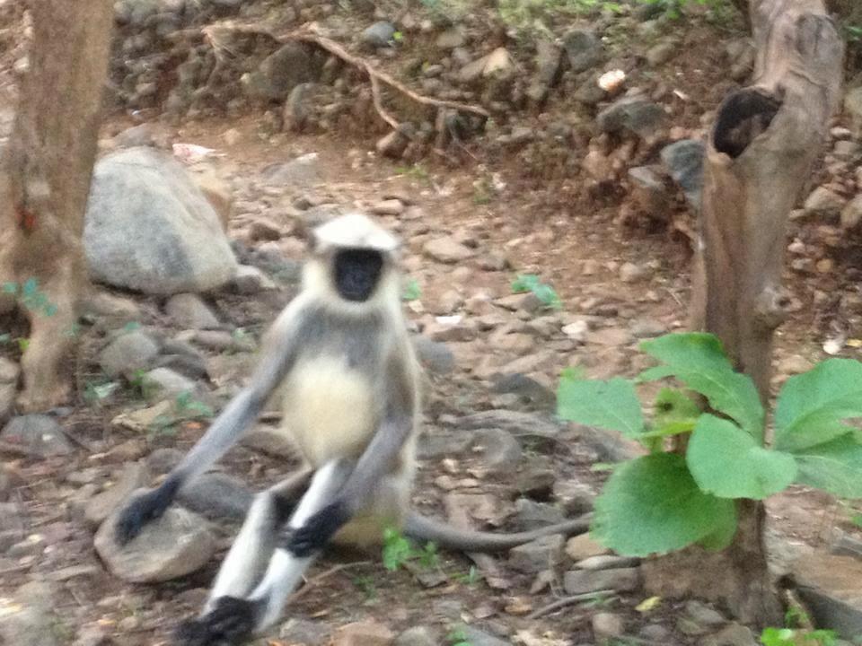 bandar monkey photo at junagadh