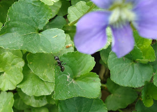 Carpenter ant on round green leaf plant with tiny purple flower.