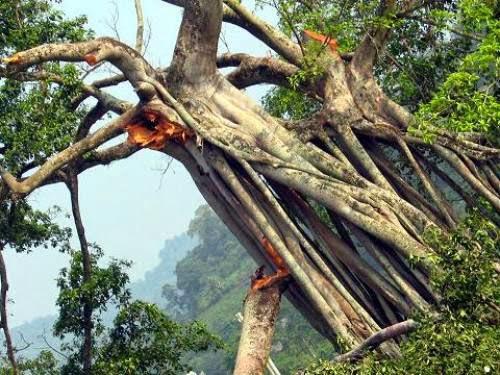 cây đa tân trào