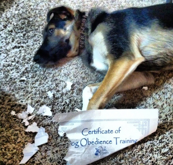 35 Hilarious Pictures Capturing Ironic Moments - Certificate Of Dog Obedience Training